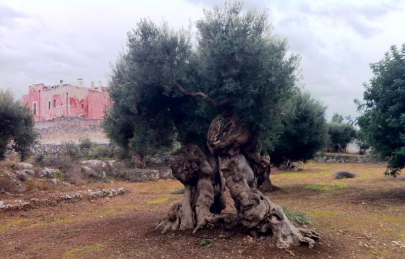 A Fasano mostra fotografica di Salvo D'Avila sugli ulivi monumentali