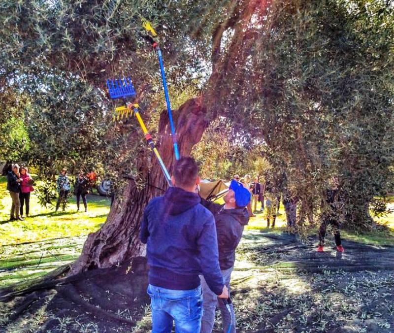 Fasano aderisce alla Camminata tra gli olivi